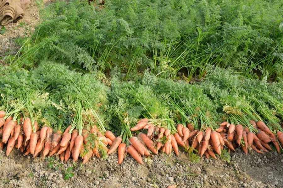 Carrot output delights Rangpur peasants