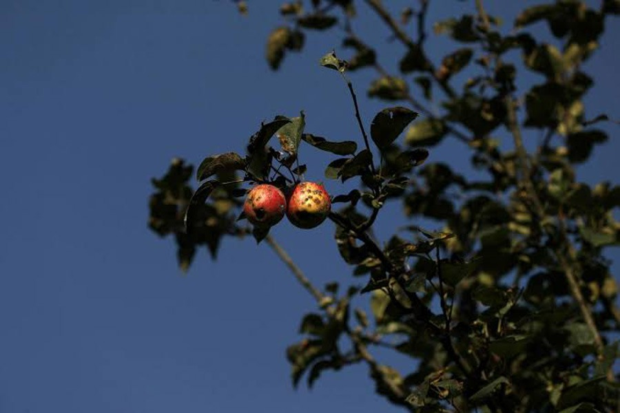 Rotten apples are seen on a tree at an apple orchard, in Sopore, north Kashmir, September 13, 2019. Reuters