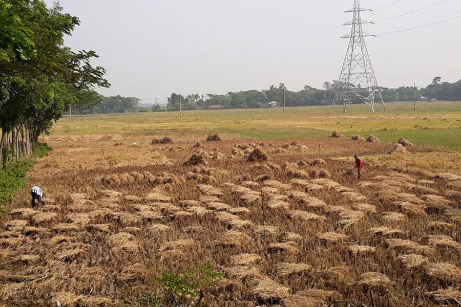 Farmers harvesting T-Aman paddy at a field in the Golabaria area under Gopalganj Sadar upazila in Gopalganj  	— FE Photo