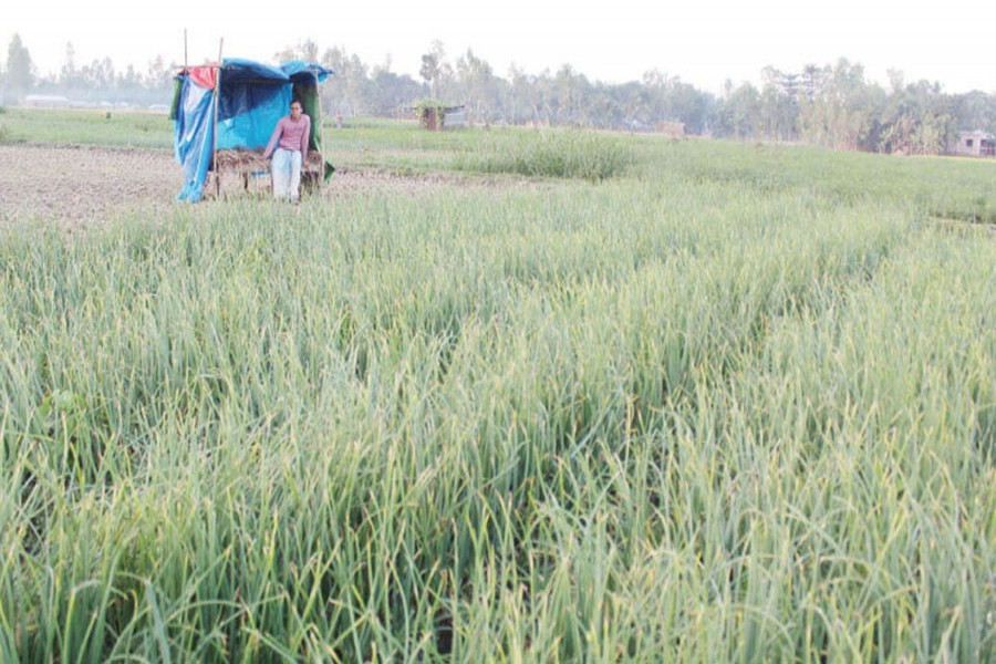 A farmer seen standing guard at a temporary house built in his onion field at Bagjana village under Pachbibi upazila of Joypurhat district to save the immature onion from theft — FE Photo