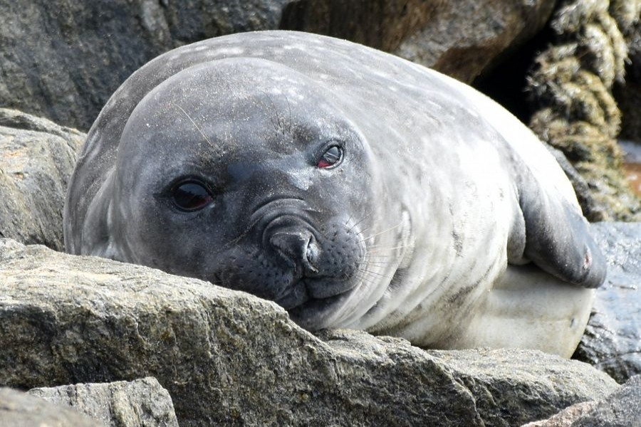 Southern elephant seal spotted for first time in Sri Lankan waters