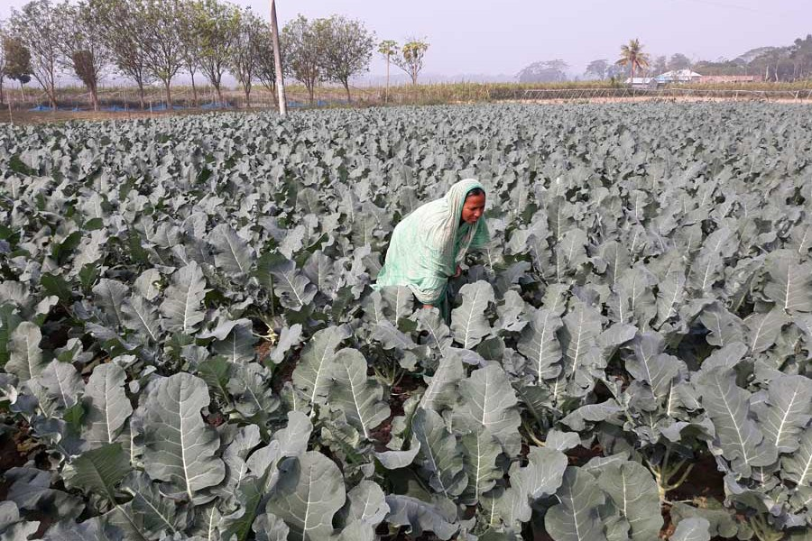 A female farmer taking care of her broccoli field at Khatra under Gopalganj Sadar  	— FE Photo