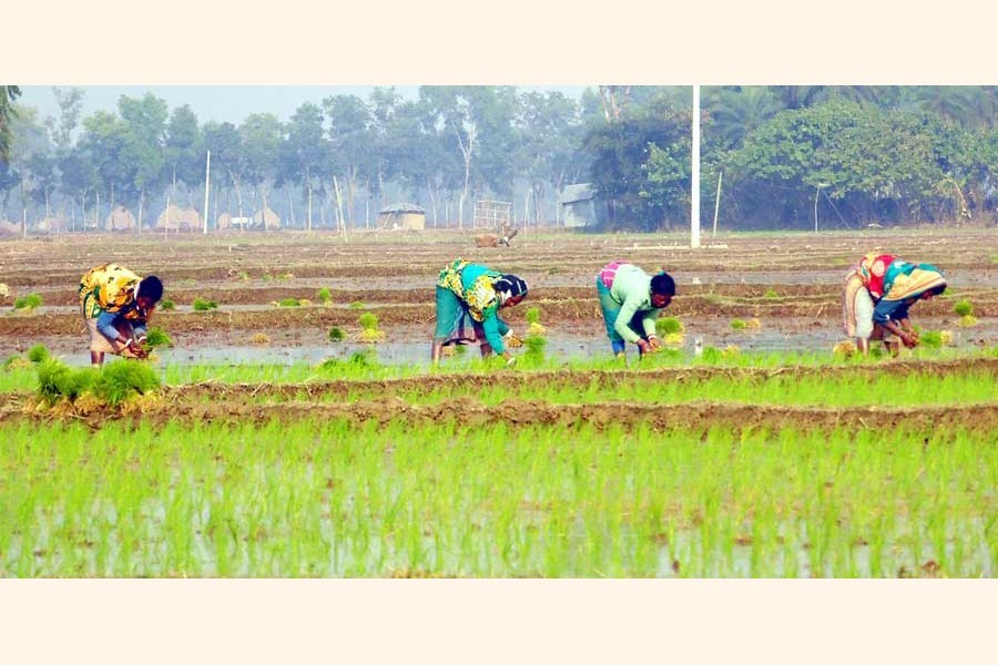 Farm workers planting Boro seedlings on a field in a village of Bogura district	— FE Photo