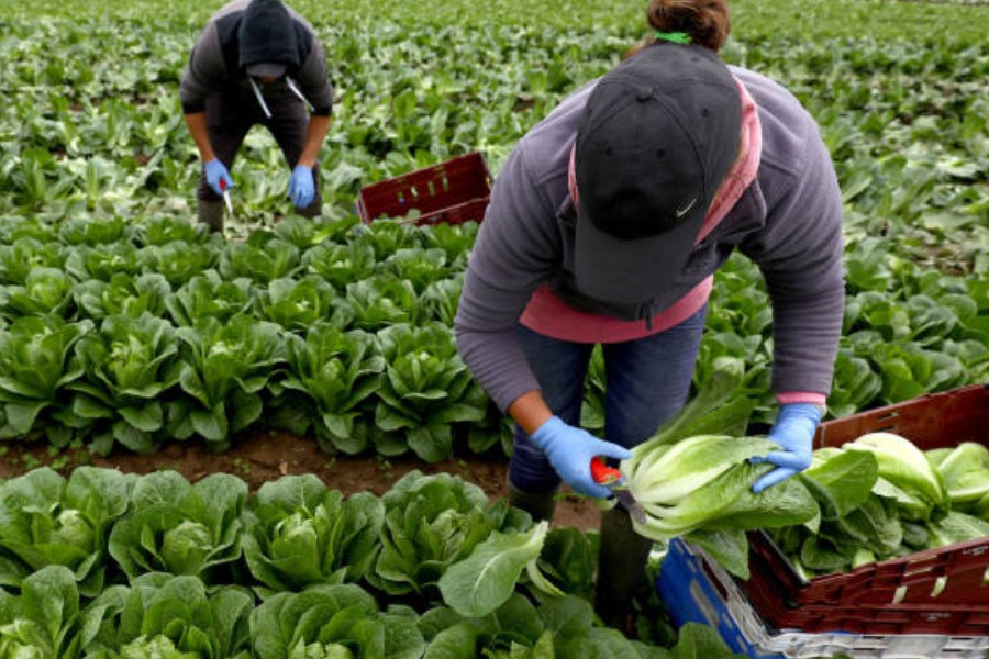Migrant workers pick lettuce on a farm in Kent. © Neil Hall/Reuters