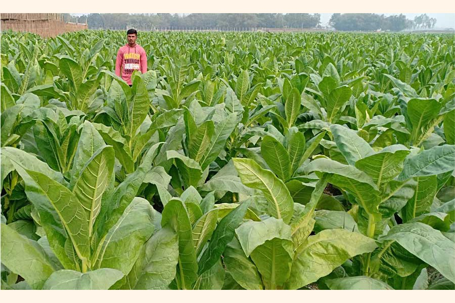A partial view of a tobacco field at a village under Rangpur Sadar upazila 	— FE Photo