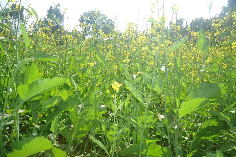 A partial view of a mustard field in Nalidanga village of Magura — FE Photo