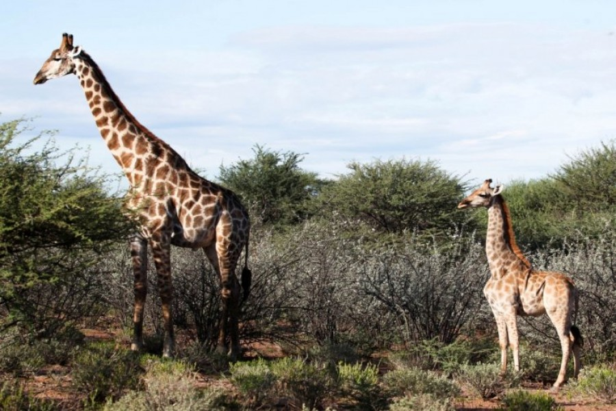 A dwarf giraffe named 'Nigel', born in 2014, stands with an adult male giraffe at an undisclosed location in Namibia, March 26, 2018. Picture taken March 26, 2018. Emma Wells/Giraffe Conservation Foundation/Handout via REUTERS