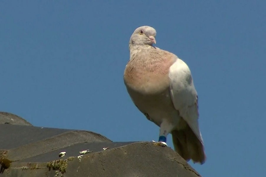 The racing pigeon, first spotted in late December 2020, appears to have made an extraordinary 13,000-kilometre (8,000-mile) the Pacific Ocean crossing from the United States to Australia [Channel 9 via AP]