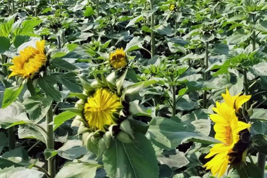 A partial view of a sunflower field in Netrakona — FE Photo