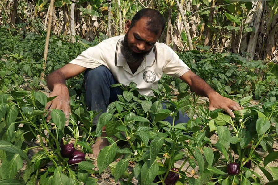 A farmer taking care of his capsicum garden at Rupsha upazila in Khulna district — FE Photo
