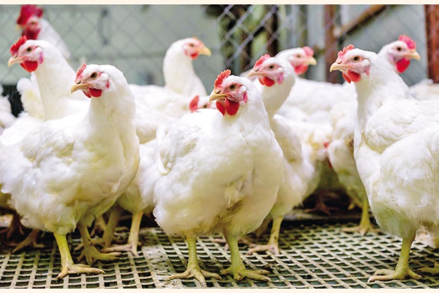 Deficiency in policies, incentives hits poultry export