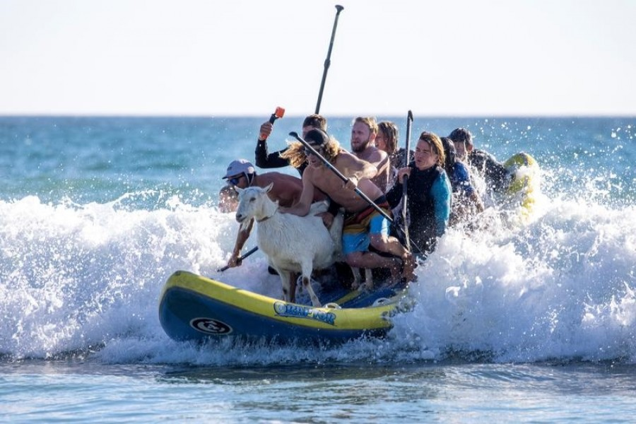 Surfing pet goat coolly rides the waves