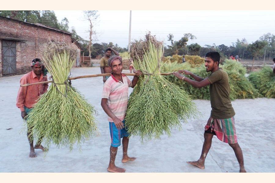 Farmers taking the harvested crop to their homes at Akkelpur upazila in Joypurhat — FE Photo