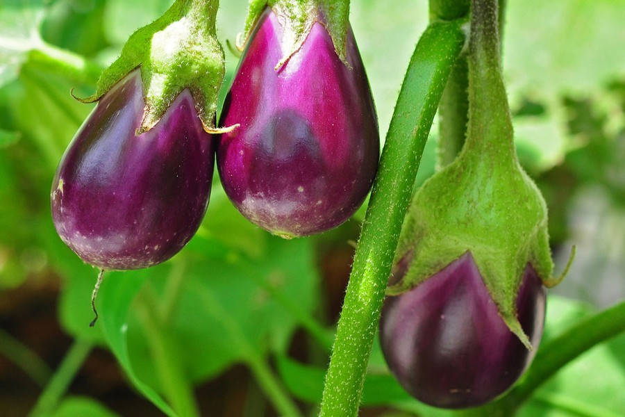 Brinjal prices increase by Tk 20-40 a kg overnight