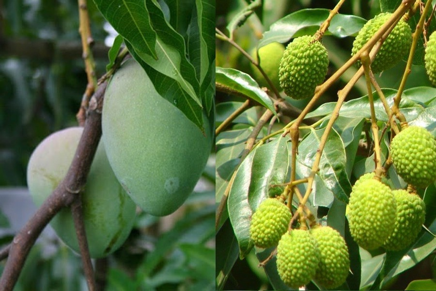 Extreme heat affecting growth of mango, litchis in Rajshahi