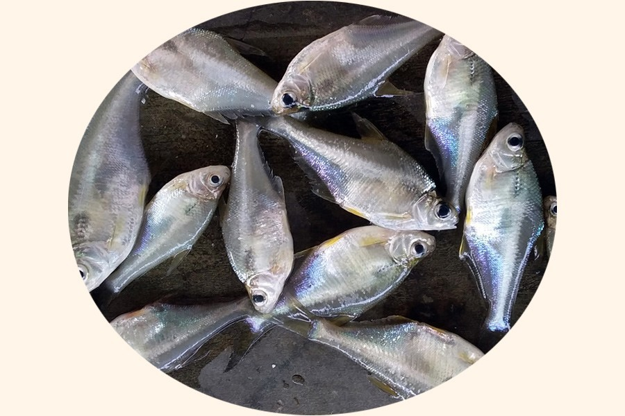 Researchers succeed in breeding of Bangladesh's endangered fish species