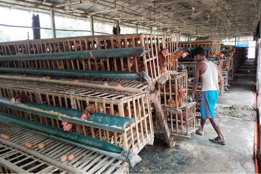 Photo shows a worker busy at a poultry firm at Khuniagach village in Lalmonirhat district — FE Photo