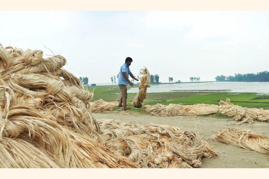A farmer is seen making jute bundle under Dhunat upazila in Bogura to sell them to the wholesalers — FE Photo