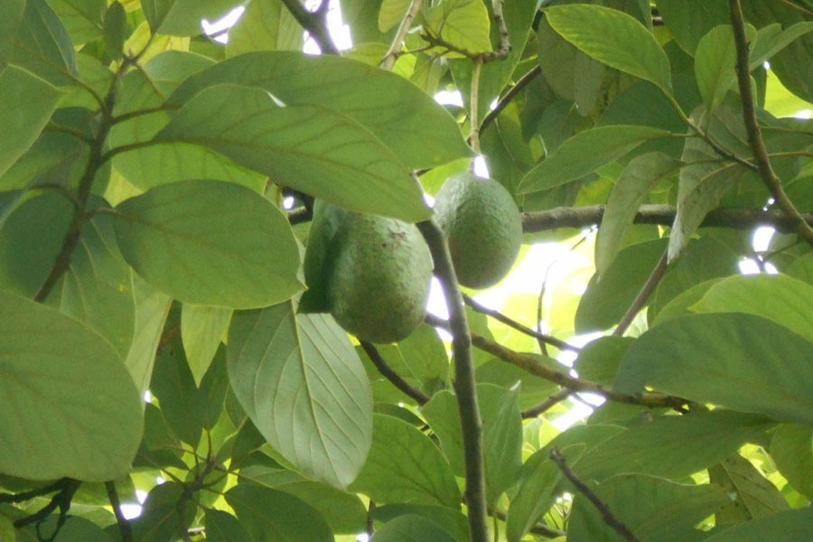 Avocado being produced successfully, in Magura