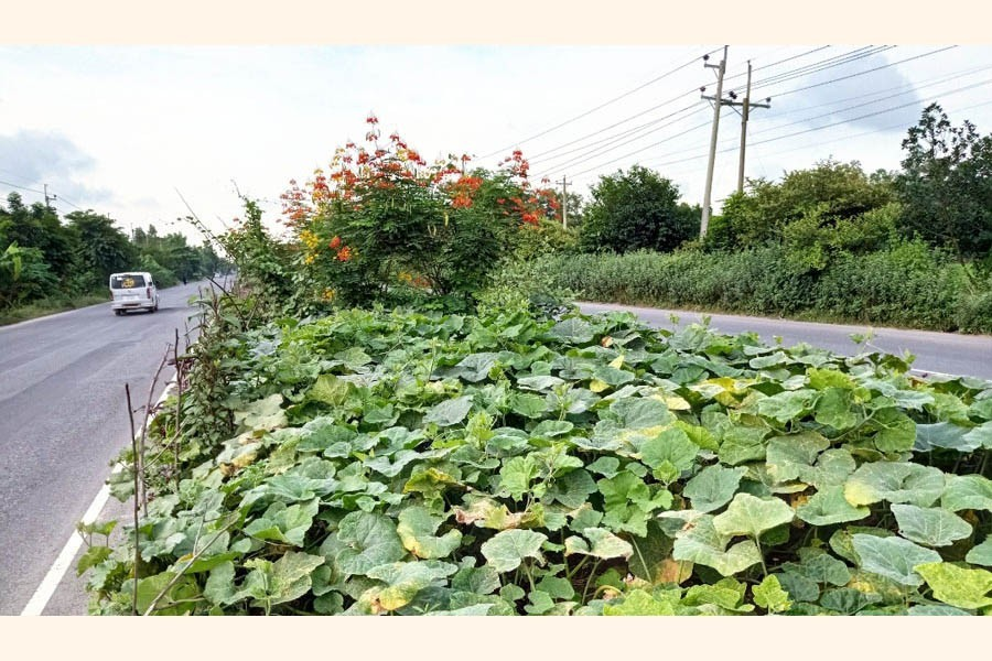 Vegetables being cultivated on the divider of the Dhaka-Chattogram highway in Cumilla. The picture was taken from the Chauddagram upazila area of Cumilla district — FE Photo