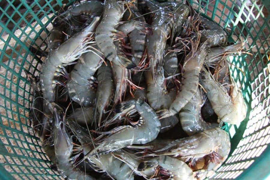 Hope high on vannamei for shrimp export boom