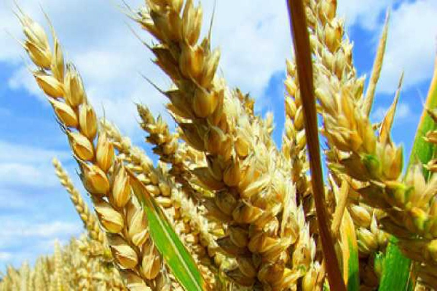 GMO crops now cultivated on 185m hectares across world