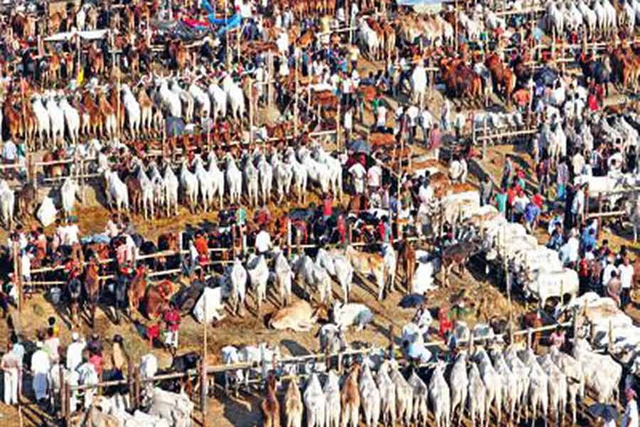 Cattle business brisk on Eid eve