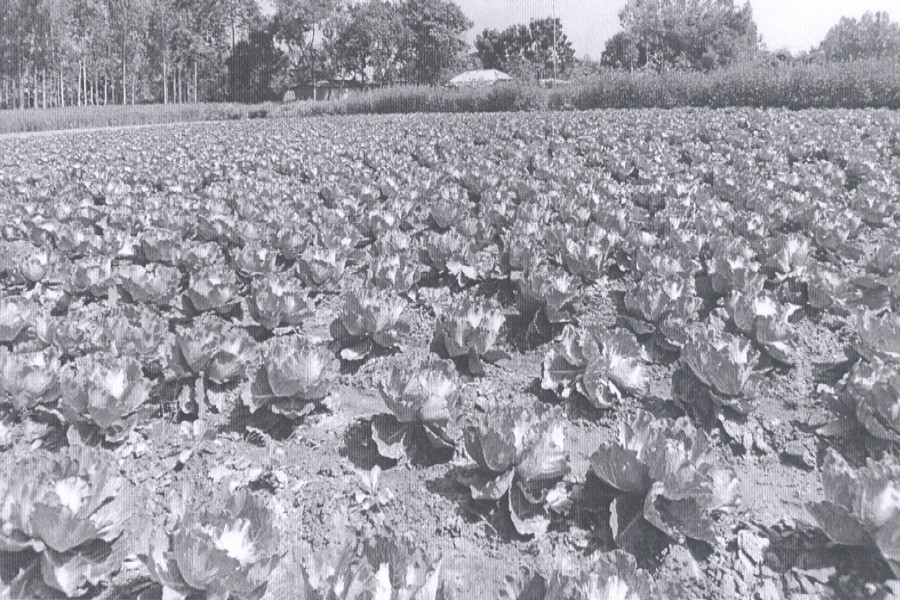 Cultivation of off-season cabbage, bean on the rise in Bogra