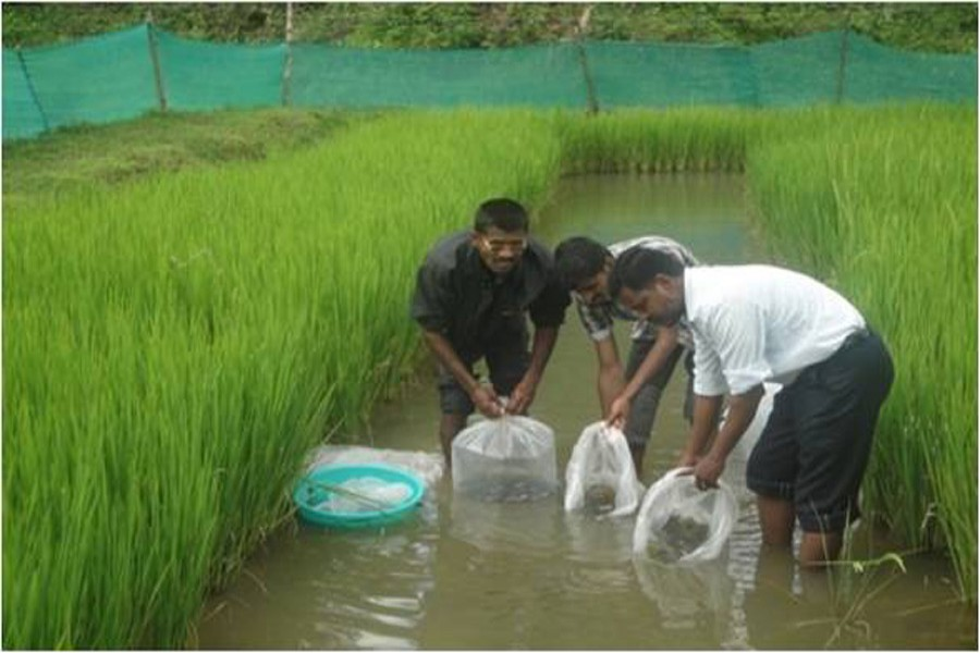 Fish cultivators and local fisheries officials releasing fish in a paddy field at Nayakandi village under Kotalipara Upazila in Gopalganj district recently. — FE Photo