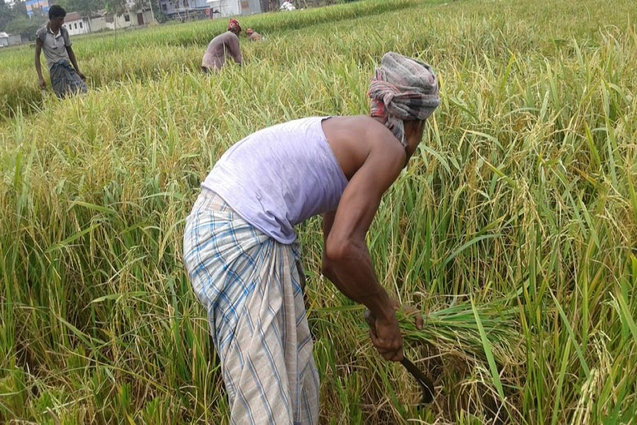 Labourers harvesting short-duration Aman paddy in a field at Mirzapur under Mithapukur upazila of Rangpur. The photo was taken on Monday. — FE Photo