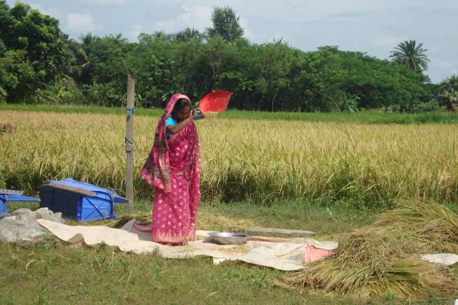 A village woman winnows newly-harvested BINA Dhan -16 paddy in Moshespur village under Kasiani upazula of Gopalganj. The photo was snapped on Wednesday. — FE Photo
