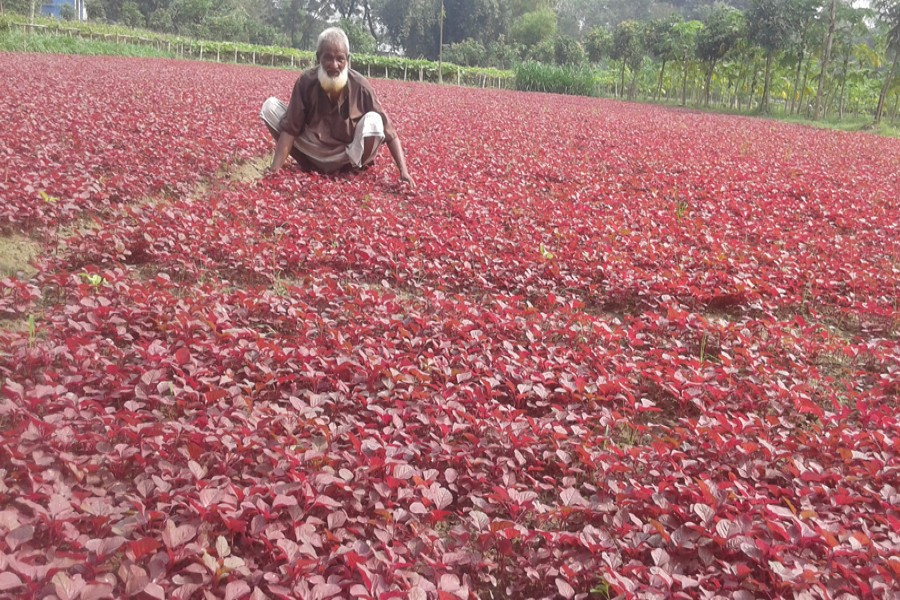 A red spinach field in Rupshi village of Ranipukur union under Mithapukur upazila of Rangpur. The picture was snapped on Thursday.— FE Photo
