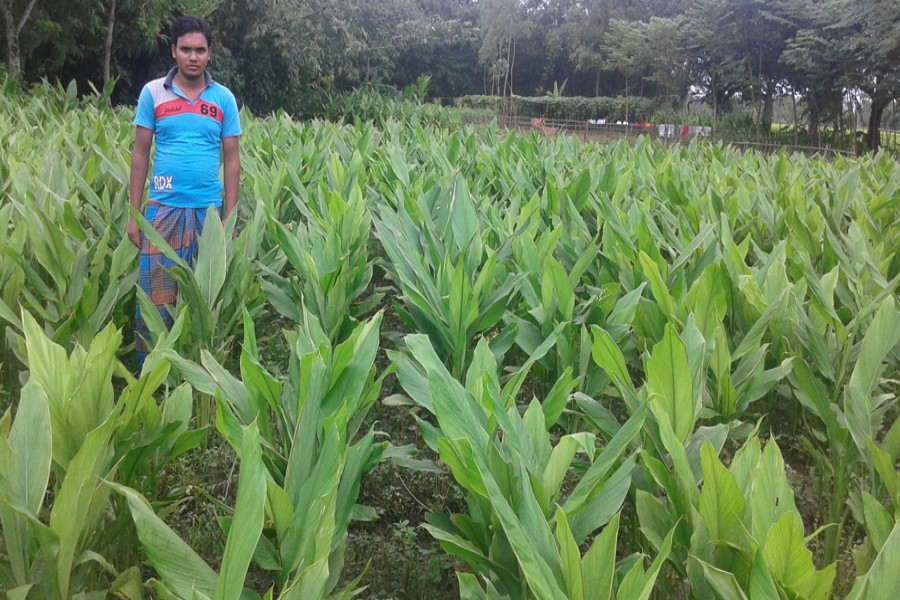 A partial view of a turmeric field in Dangapara village under Taraganj upazila in Rangpur. The photo was taken on Sunday. — FE Photo