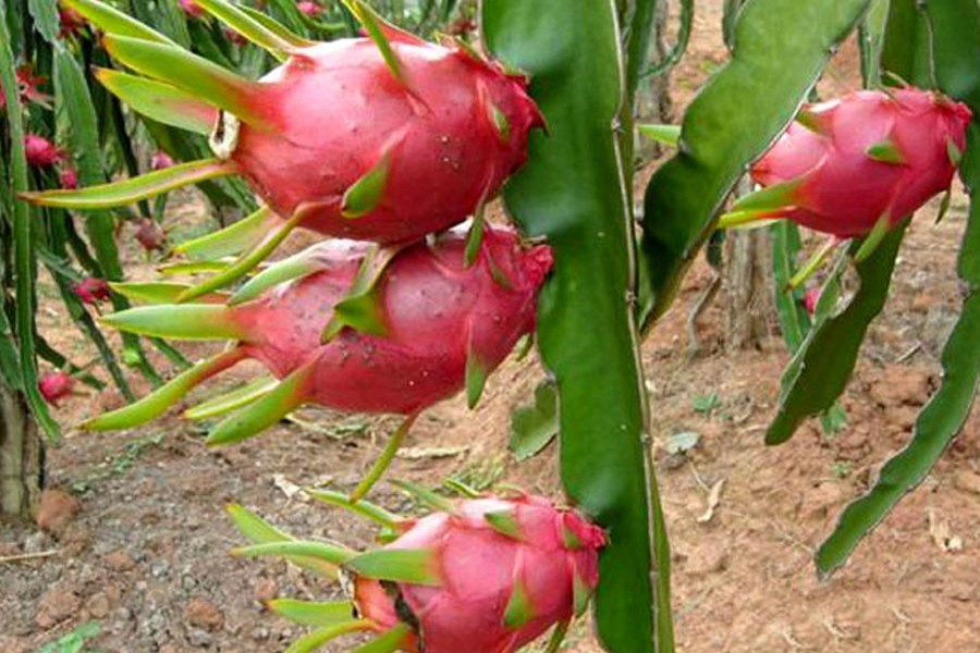 Khulna growers show interest in dragon fruit farming