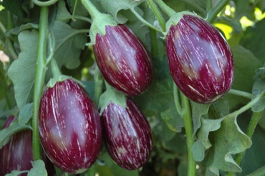 Graduate man overcomes poverty by cultivating  brinjal at Ishwardi