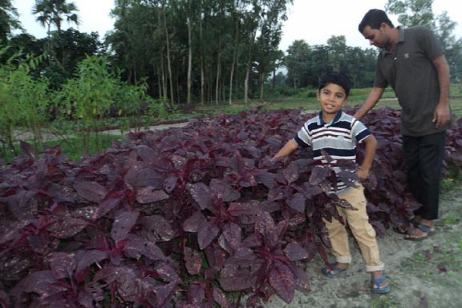 A partial view of a red spinach field in Sanjoypur village under Kahaloo upazila of Bogra. — FE Photo