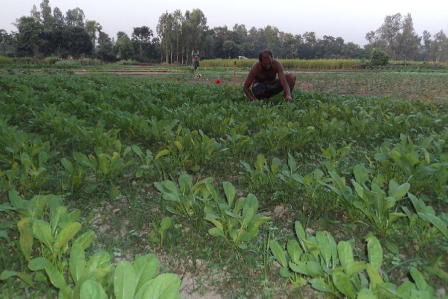 A farmer takes care of a radish field under Raiganj upazila in Sirajganj. The snap was taken on Monday.  — FE Photo