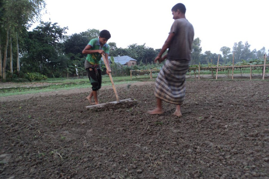 A couple of growers prepare a piece of land to produce an early variety of potato in Joypurhat on Sunday. — FE Photo