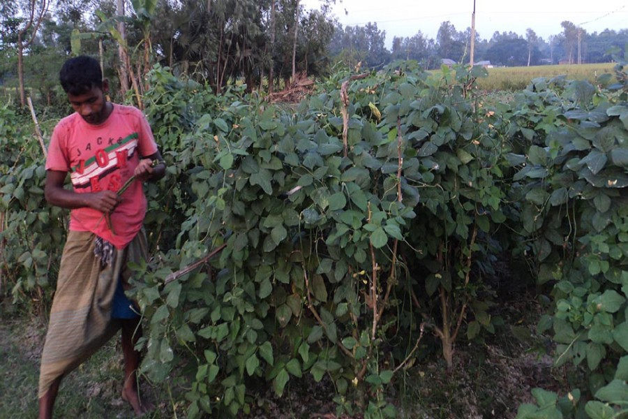 A peasant harvests snake beans from his land for sale in the local market on Sunday.— FE Photo