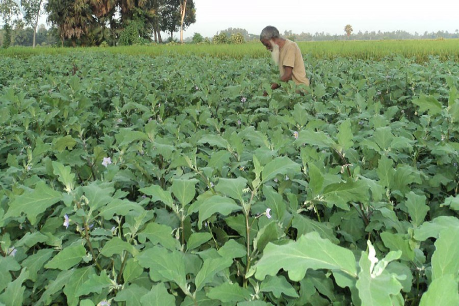 A farmer takes care of his BT brinjal field in Gabtoli upazila of Bogra on Wednesday. — FE Photo
