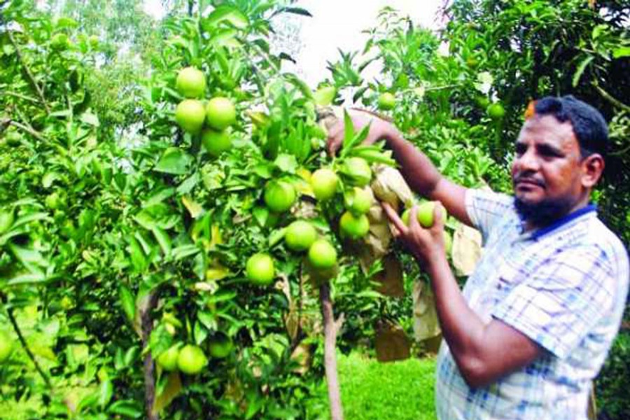 A farmer collects malta from his orchard in Jamtola village of Jhilim union under Chapainawabganj Sadar upazila on Monday. — FE Photo