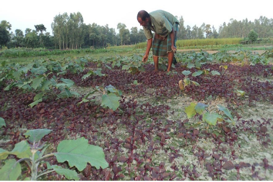 A farmer growing red spinach and brinjal on the same land in Bogra. The photo was taken on Monday. — FE Photo
