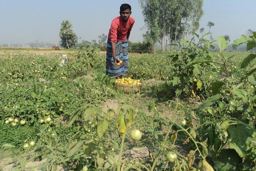 A farmer is seeing harvesting tomato at a field in Bogra. Photo: FE