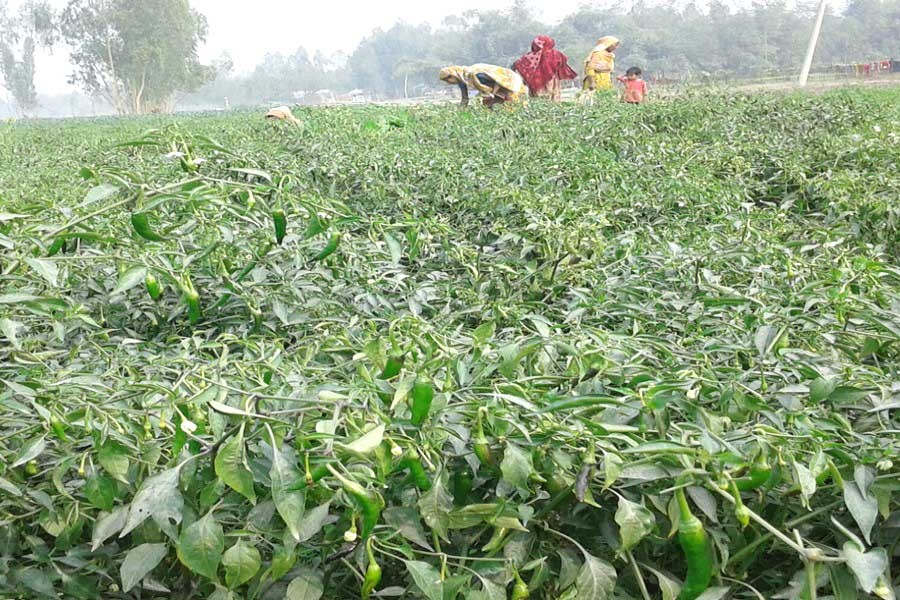 A view of a chilli field in Char Nazirdaho under Kawnia of Rangpur. (FE Photo)