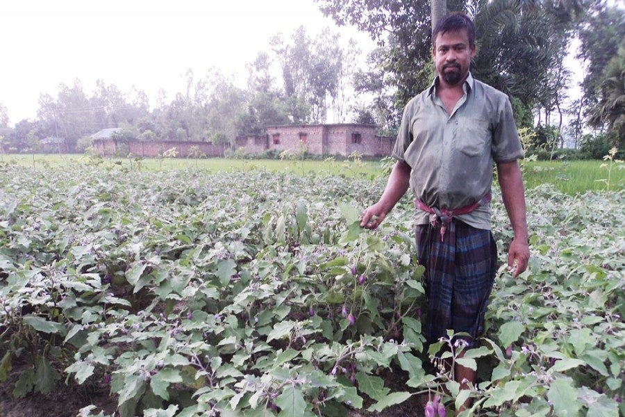 A peasant shows his brinjal field in Muroil village under Kahaloo upazila of Bogra on Thursday. — FE Photo