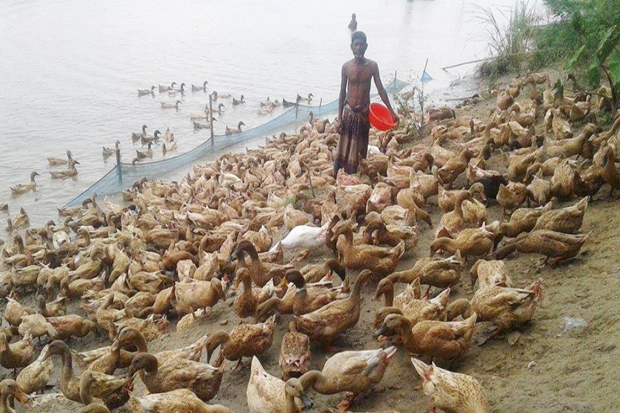 A farmer is feeding duck at his farm under Kazipur upazila of Sirajganj on Monday. 	— FE Photo