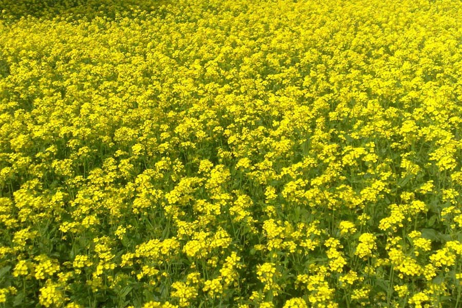 Photo collected from internet showing mustard field.