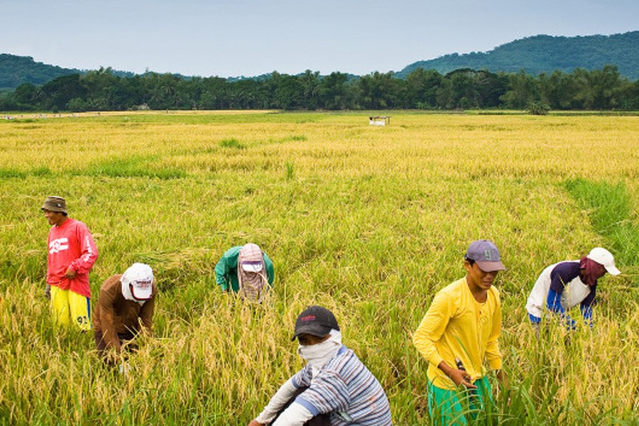 Philippines rice harvest hits record high