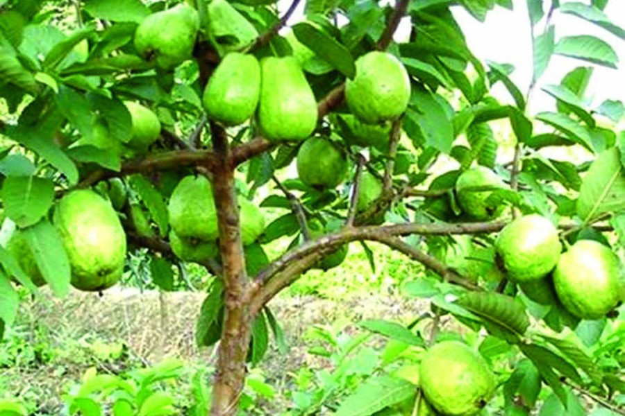 A college teacher producing seedless guava in Rajshahi