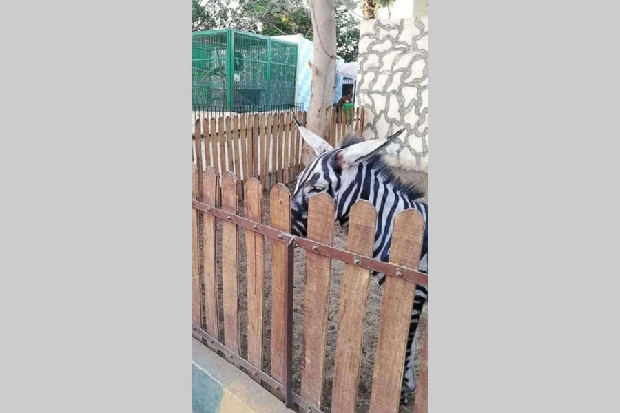 a79afe6519ba1 Egyptian zoo comes under criticism for painting donkeys like zebras